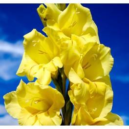 Gladiolus Nova Lux, Øko