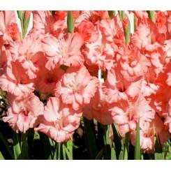 Gladiolus Captiva, Øko