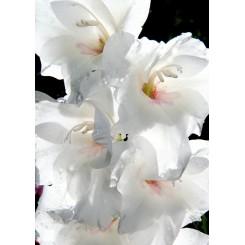 Gladiolus Ocilla, Øko