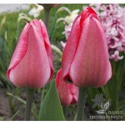 Tulipan Lady Van Eijk