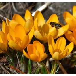 Krokus flavus Golden Yellow, Øko