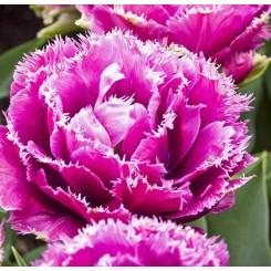 Tulipan Mascotte