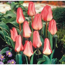 Tulipan Sweet Lady