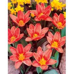 Tulipan Fashion