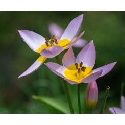 Tulipan Saxatalis