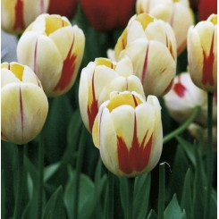 Tulipan Burning Heart