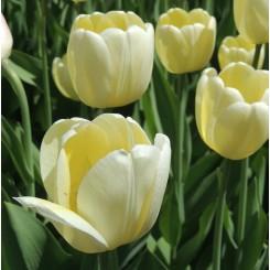 Tulipan Creme Flag