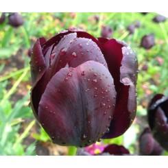 Tulipan Black Jack, Øko