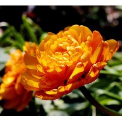 Tulipan Sunlover, Øko
