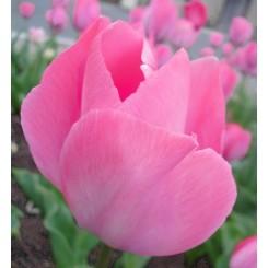 Tulipan Sweet Sixteen, Øko