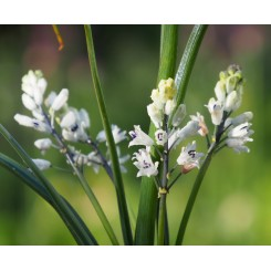 Bellevalia romana - Romersk hyacint, Øko