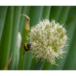 Pibeløg - Allium fistulosum
