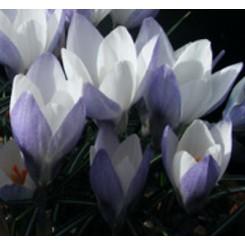 Krokus biflorus weldenii Fairy