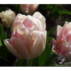 Tulipan Foxtrot