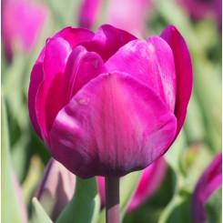 Tulipan Negrita, Øko