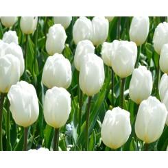 Tulipan Catherina