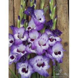 Gladiolus Vista
