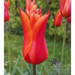 Tulipan Ballerina