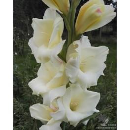 Gladiolus Cream Perfection