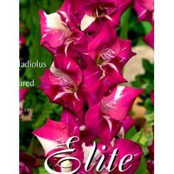 Gladiolus Dared