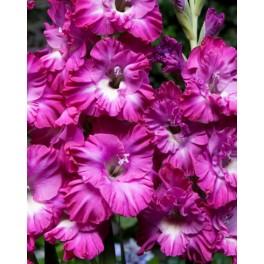 Gladiolus Nablus Frizzle