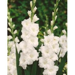 Gladiolus Paloma Blanca