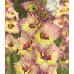 Gladiolus Sapporo