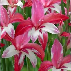 Gladiolus Galaxian