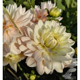 Dahlia Diana's Memory