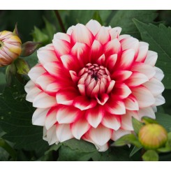 Dahlia Larry's Love, Øko
