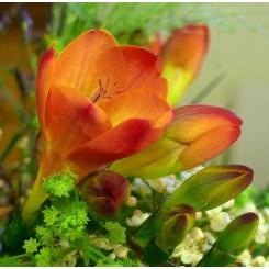 Fresia Orange
