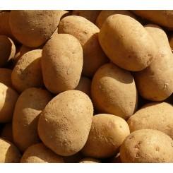 Sava Læggekartofler