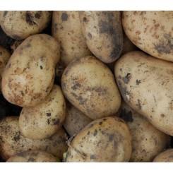 Belana Læggekartofler
