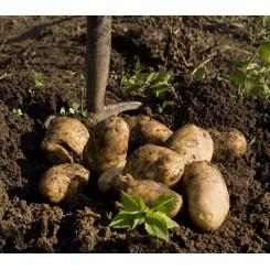 Georgina Læggekartofler