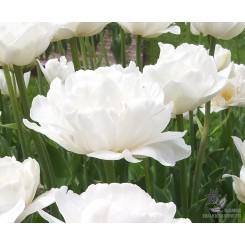 Tulipan Mount Tacoma
