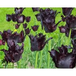 Tulipan Black Parrot