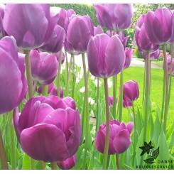 Tulipan Negrita