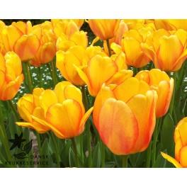 Tulipan Blushing Apeldoorn