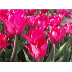 Tulipan Roussillon, Øko