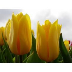 Tulipan Strong Gold, Øko