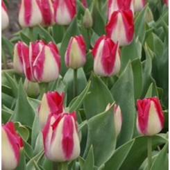 Tulipan Alectric