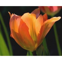 Tulipan Apricot Emperor
