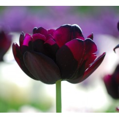 Tulipan Black Hero