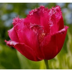 Tulipan Burgundy Lace