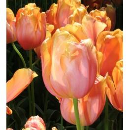 Tulipan Dordogne