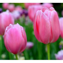 Tulipan Christmas Dream