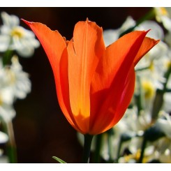 Tulipan Orange Brilliant