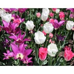 Tulipanblanding Libra