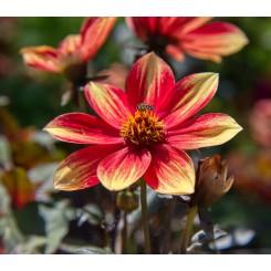 Dahlia Dahlegria Bicolore