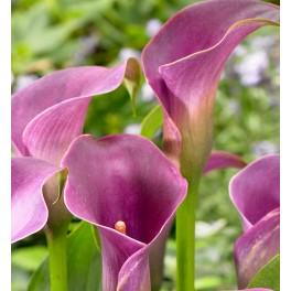Calla Lavender Gem